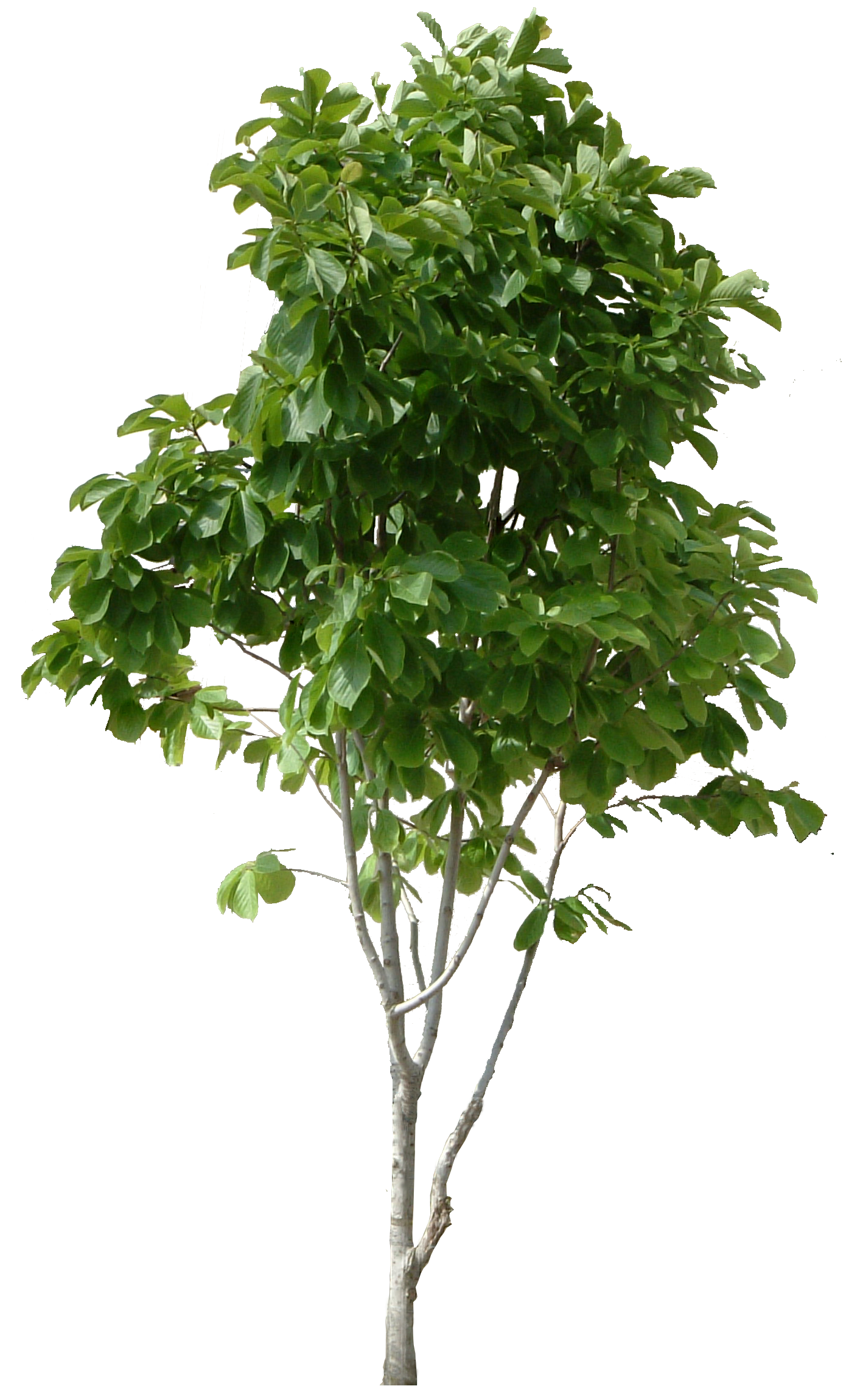Free Tree Png Images & Free Tree Images.png Transparent.