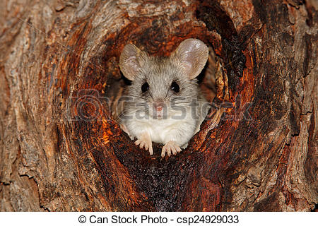 Stock Photos of Acacia tree rat.