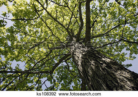 Stock Photo of Maple tree, shot from below ks108392.