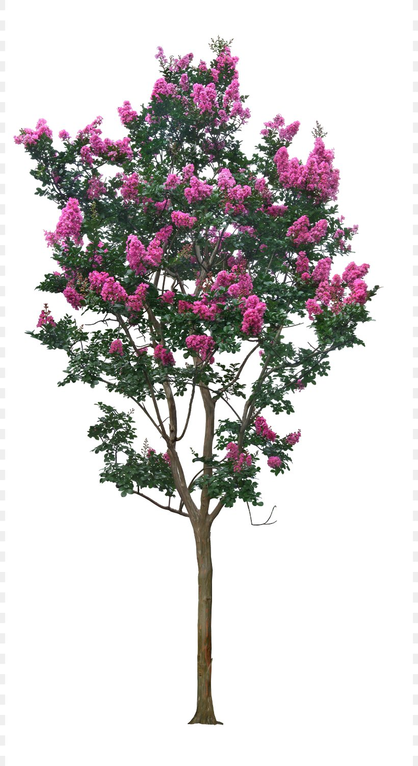 Tree Crepe Myrtle, PNG, 800x1500px, Stone Pine, Blossom.