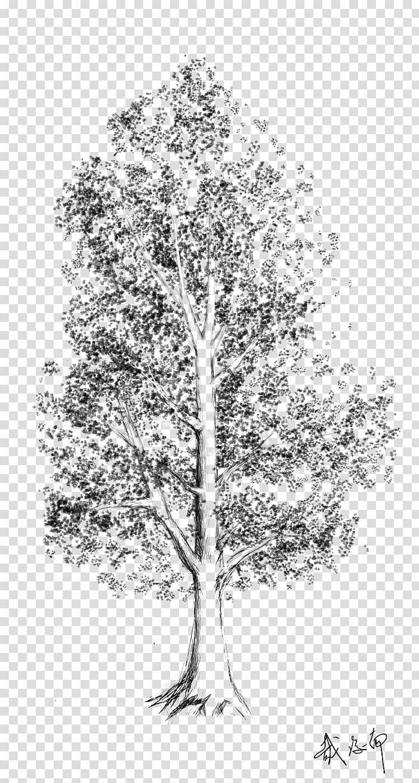 Tree Birch Woody plant Leaf, sketch tree transparent.