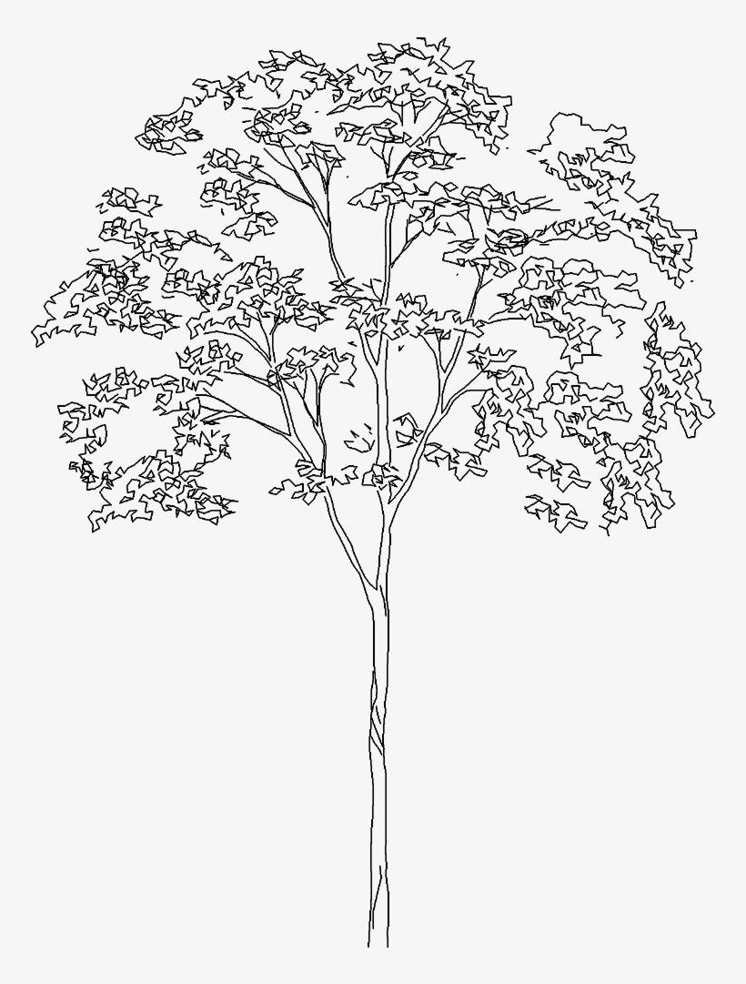Landscape Architecture Tree Sketch.