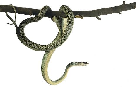Tree snake clipart #3