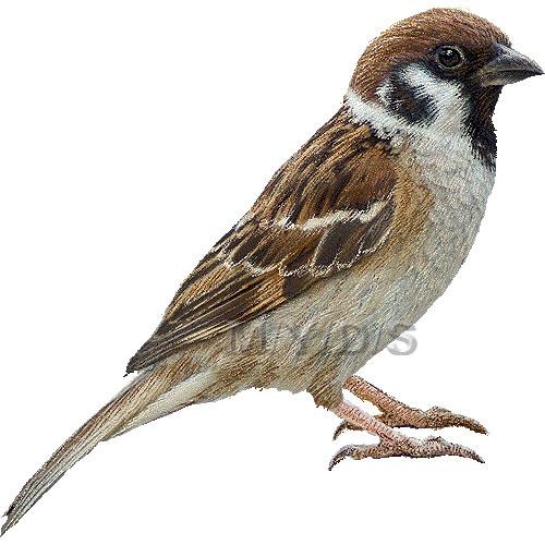 Tree Sparrow clipart graphics (Free clip art.