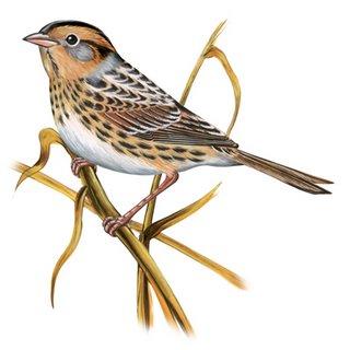 Sparrow clipart images.