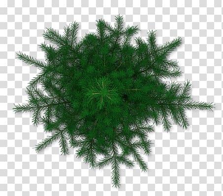 Green pine tree leaves cut.