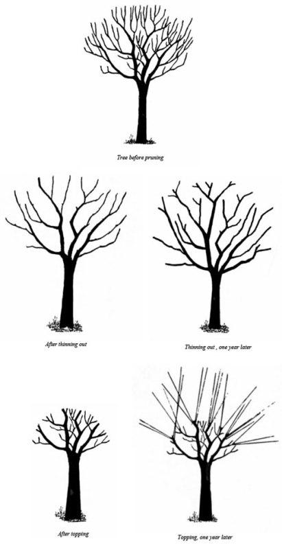 Tree Thinning VS Tree Topping.