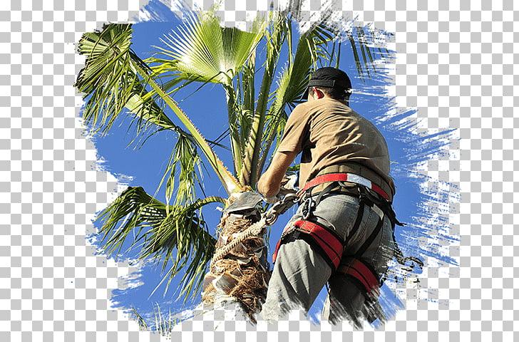 Pruning Arecaceae Las Vegas Tree Removal Pros Tree care.