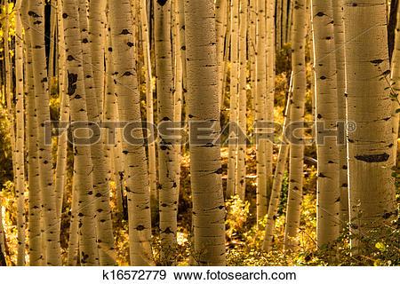 Stock Photograph of Aspen Tree Trunk Forest k16572779.