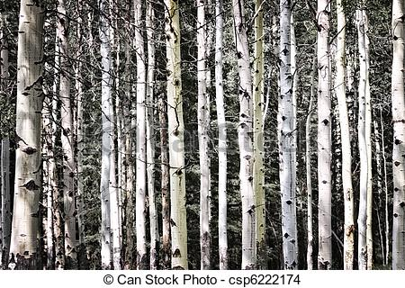 Stock Photo of Aspen tree trunks in forest as natural background.