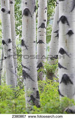 Picture of Aspen tree trunks; Whitehorse, Yukon, Canada 2380867.