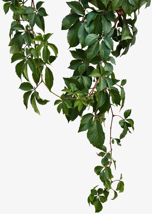 Green Vines, Green Leaf Vines, Green Leaves, Sticks PNG.
