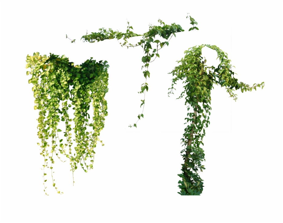 Tree Plant Vine Ivy Others Png File Hd Clipart.
