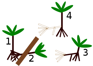 Socratea exorrhiza.