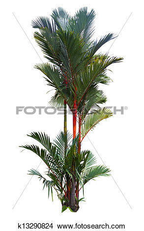 Stock Photo of Red sealing wax palm tree k13290824.