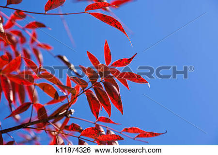 Stock Images of wax tree with autumn leaves k11874326.