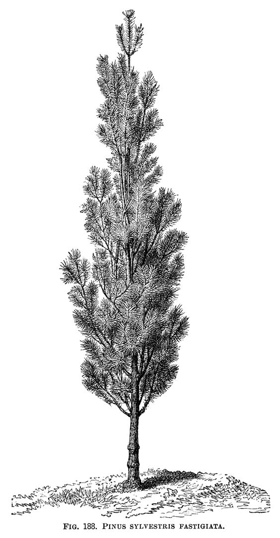 black and white graphics, botanical pine tree illustration.