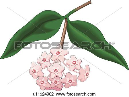 Clipart of Wax Plant u11524902.