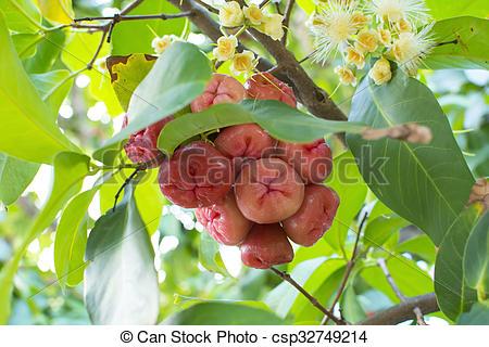 Stock Photography of Syzygium jambos wax apples on tree.