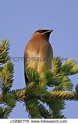 Stock Photograph of tree nature vertical portrait image cedar wax.