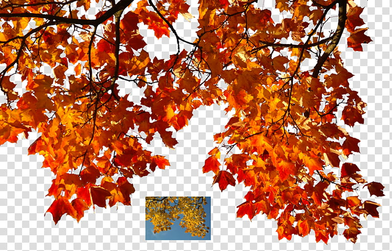 Autumn leaves , Maple tree illustration transparent.