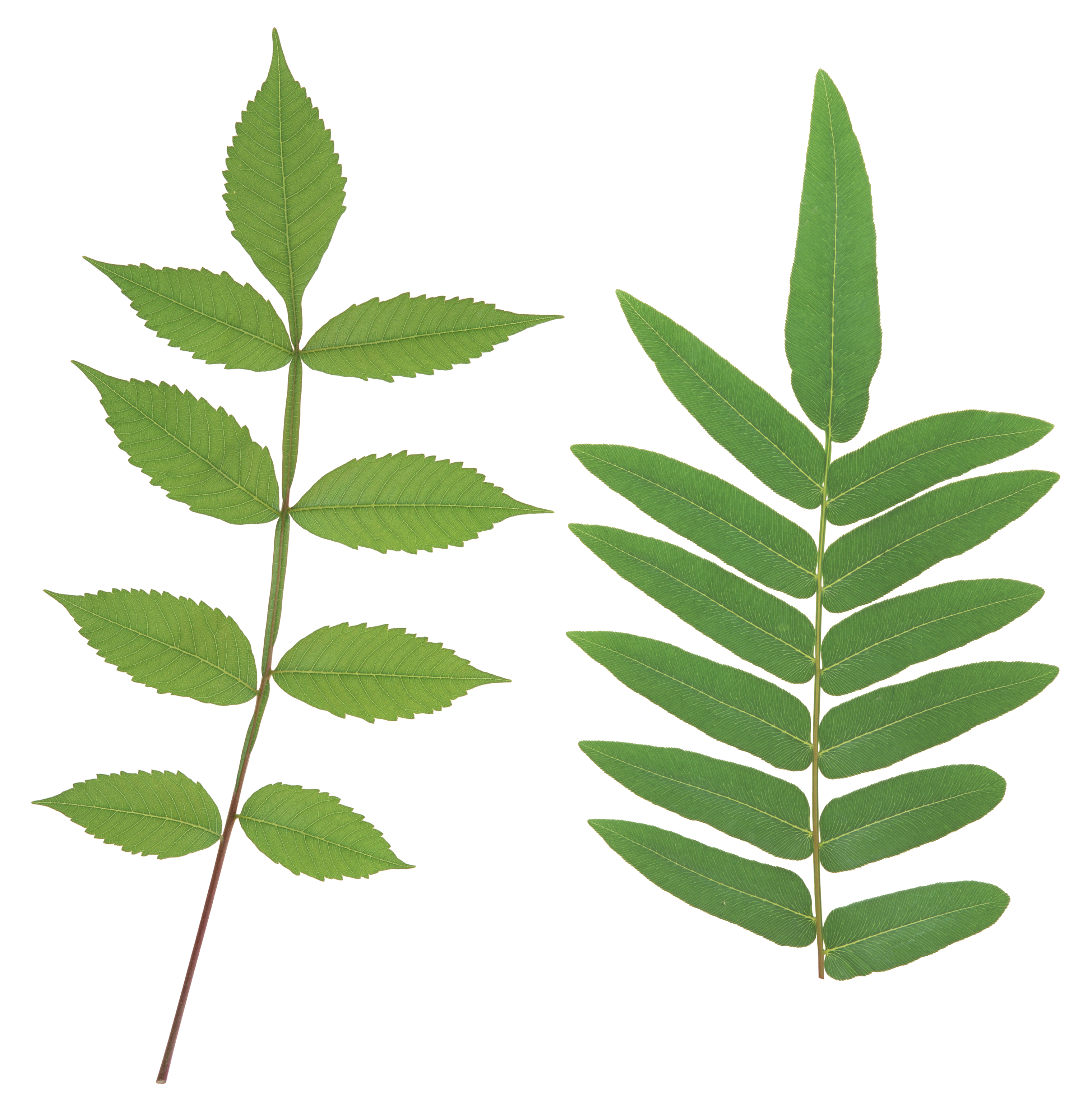 Free Curry Leaves Cliparts, Download Free Clip Art, Free.
