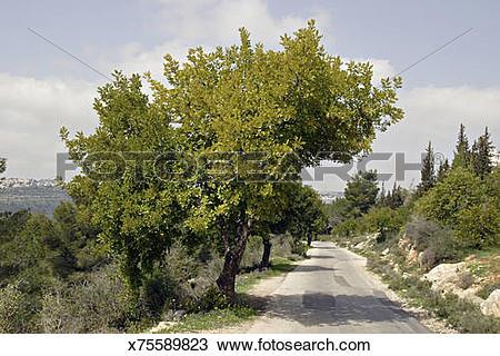Stock Photo of Carob trees, Ceratonia siliqua, along road in the.