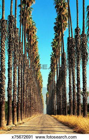 Stock Photography of Palm trees along road, San Bernardino.