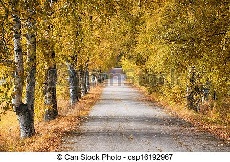 Stock Image of Golden birch trees along road.