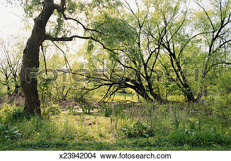 Stock Photo of Trees arching over path, spring x23942004.