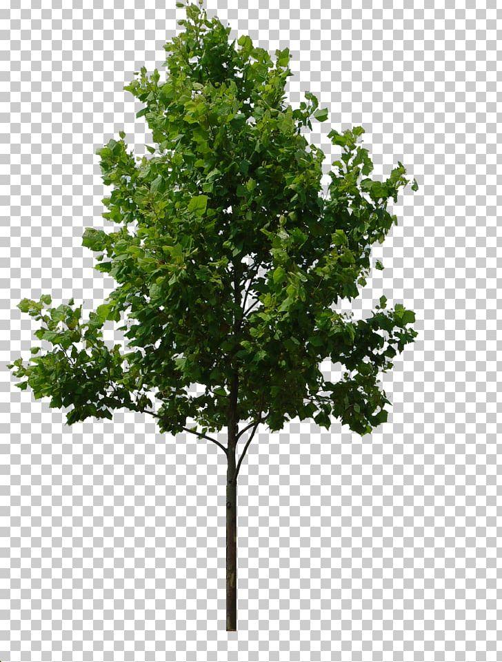 Tree Rendering PNG, Clipart, Albero, Birch, Branch, Computer.