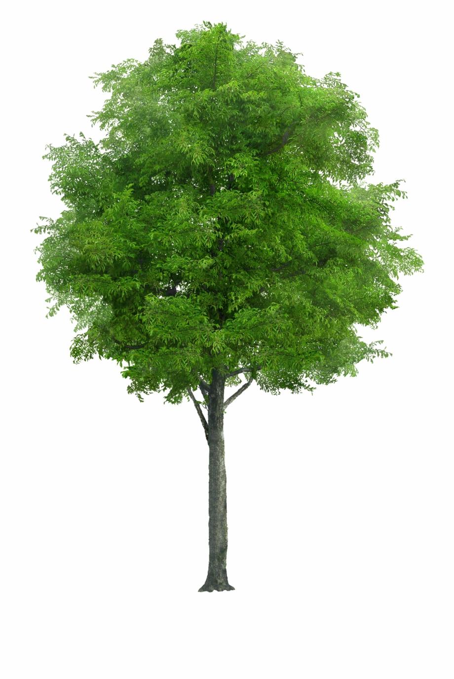 Tree Png Image Tree Plan Png, Tree Render, Tree Psd,.