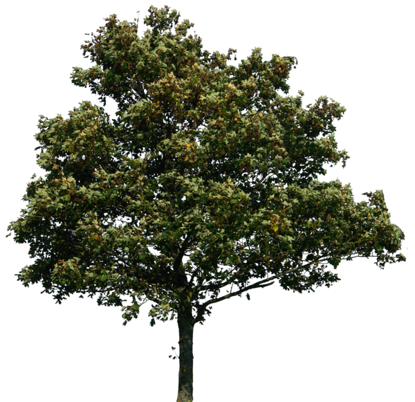 Trees for photoshop rendering png » PNG Image.