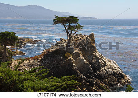 Stock Photo of Lone Cypress Tree k7107174.