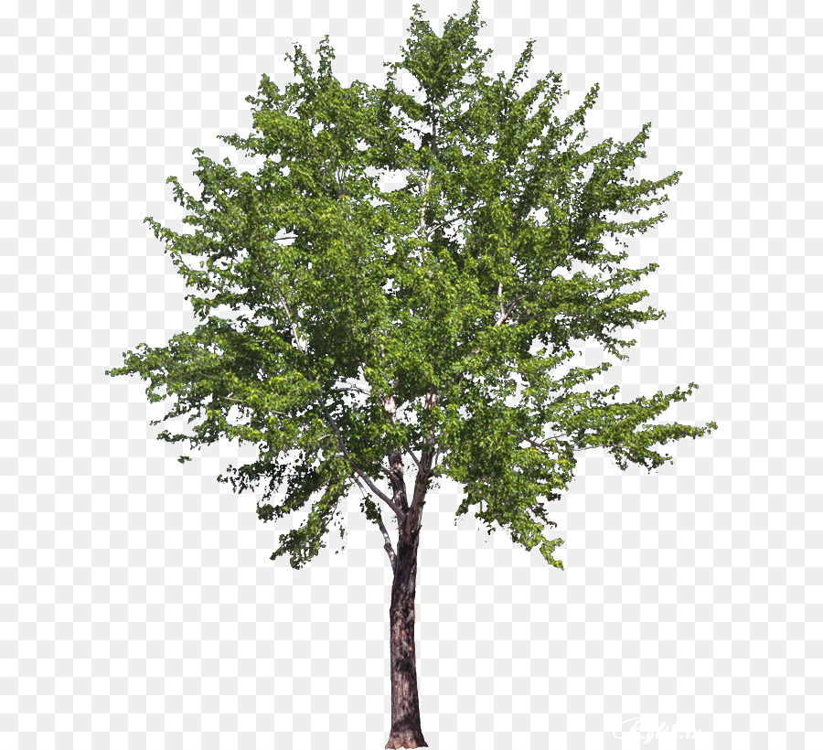 Png Australian Trees & Free Australian Trees.png Transparent.
