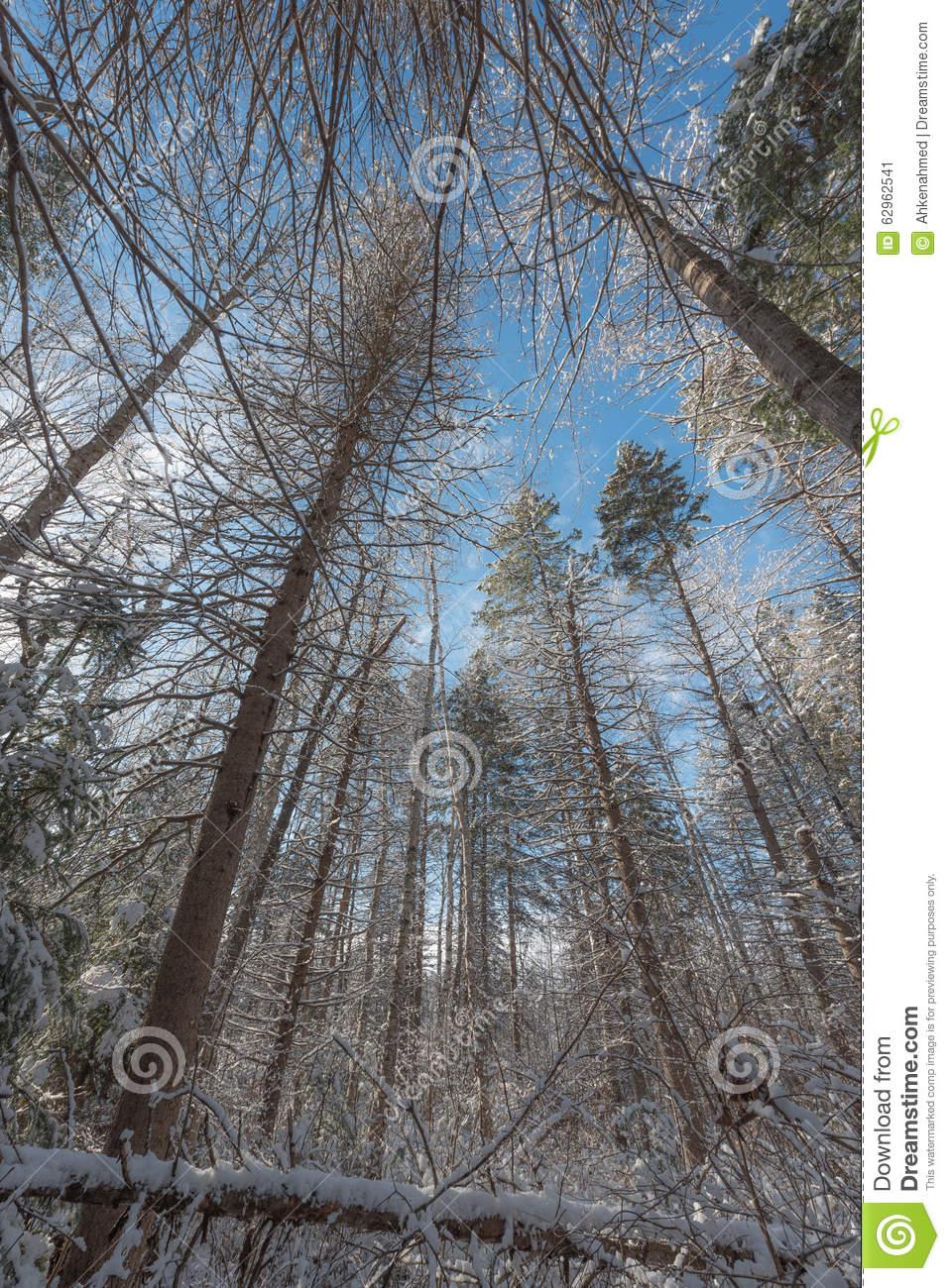 Towering Winter Pines.