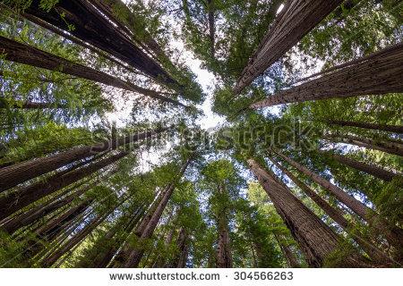 Giant Redwoods Stock Photos, Royalty.