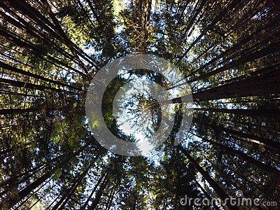 Towering Trees. Hamakua Coast, Eucalyptus Trees. Stock Photo.