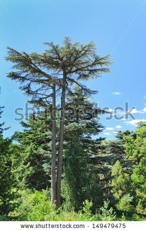 Tall Blue Pine Trees Stock Photos, Royalty.