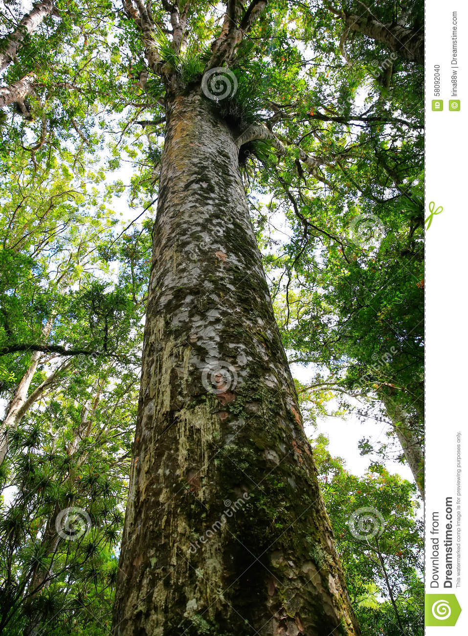 Very Tall Tree Towering Above Thre Land In New Zealnd. Stock Photo.