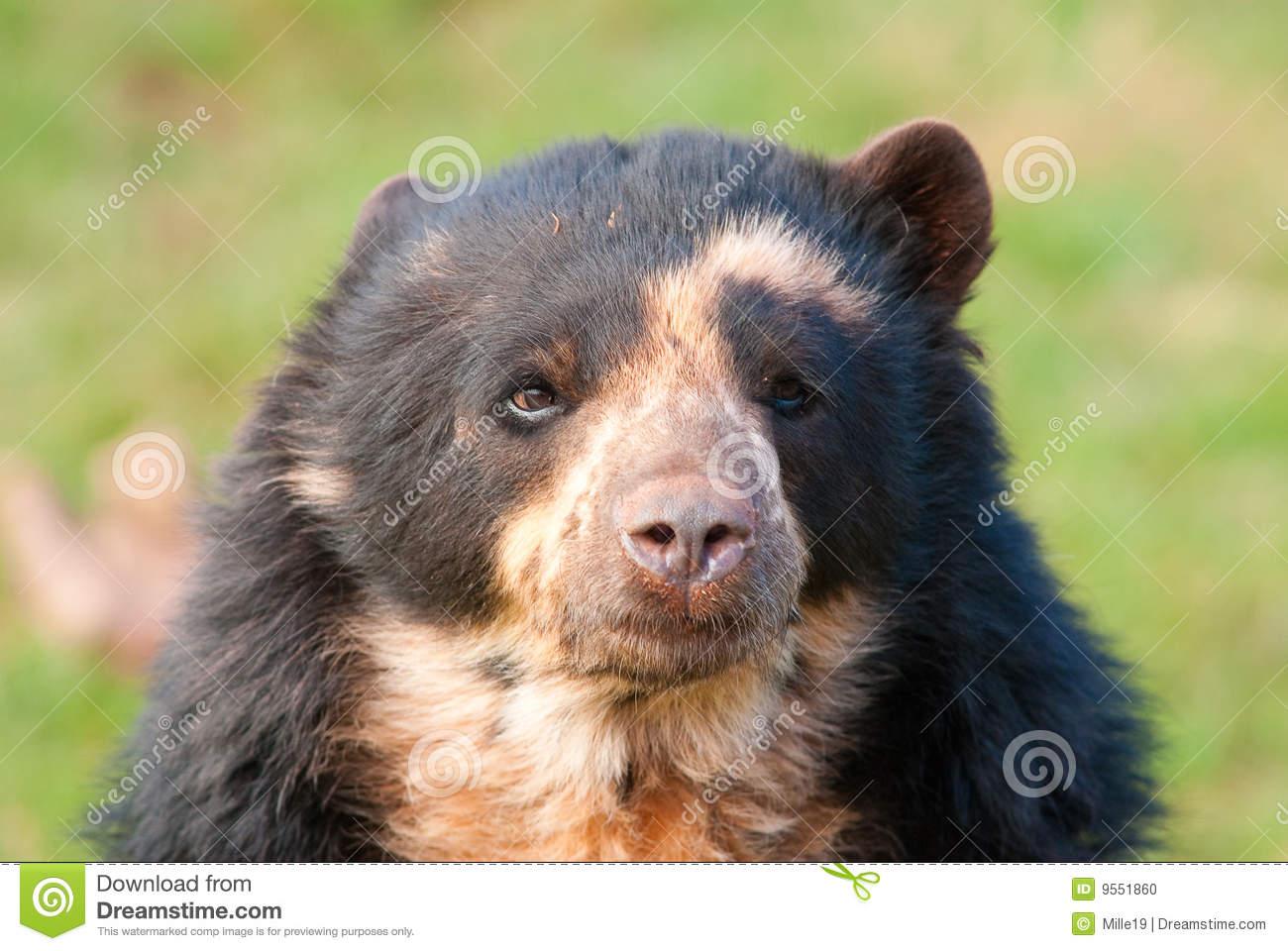 Andean Bear (Tremarctos Ornatus) Stock Photo.