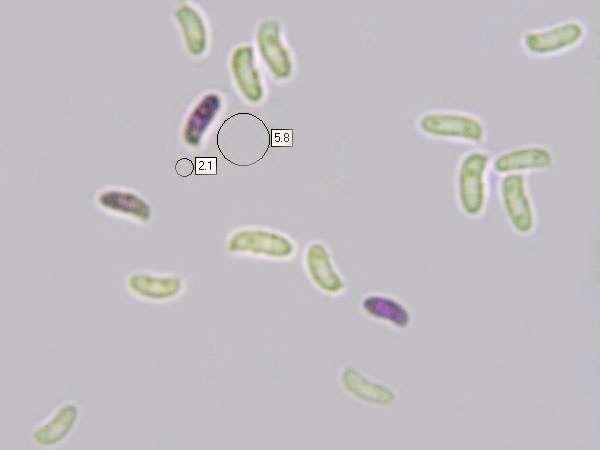 Trichaptum abietinum, Purplepore Bracket fungus.