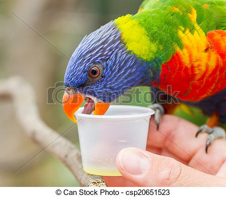 Stock Photo of Australian Rainbow Lorikeet, Trichoglossus.