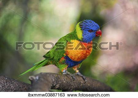 "Stock Photo of ""Rainbow Lorikeet(Trichoglossus haematodus), Loro."