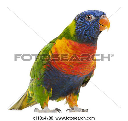 Pictures of Female Rainbow Lorikeet.