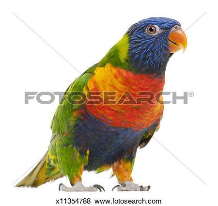 Pictures of Female Rainbow Lorikeet.