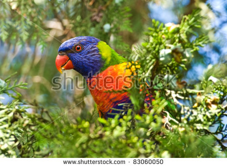 Rainbow Lorikeet Stock Photos, Royalty.