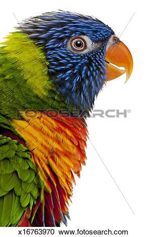 Stock Photography of Female Rainbow Lorikeet.