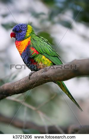 Stock Images of Little rainbow parrot lorikeet Trichoglossus.