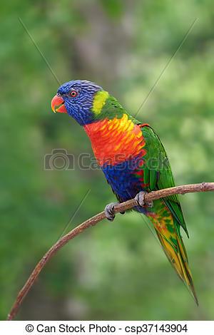 Stock Photography of Rainbow lorikeet (Trichoglossus moluccanus.